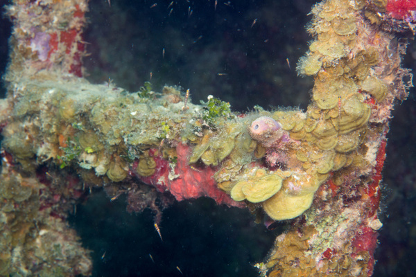 Coral encrustation on a ladder at the Prince Albert by...
