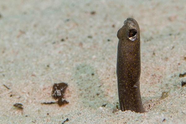 Cautious brown garden eel by Willis Chung