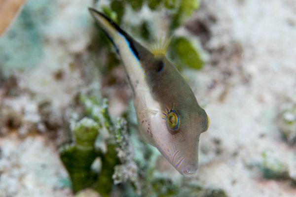 Sharptail puffers were easy to take photos of by Willis...