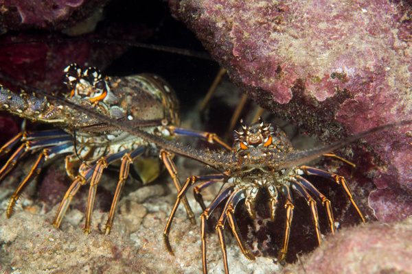 Lobsters galore! Near start platform by Willis Chung