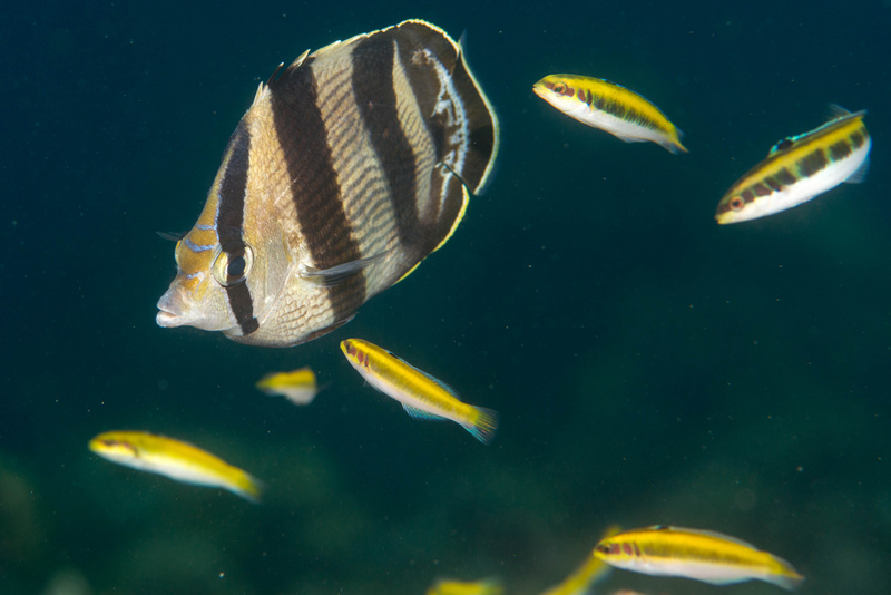 A banded butterflyfish waits to get a cleaning from the juvenile bluehead wrasse