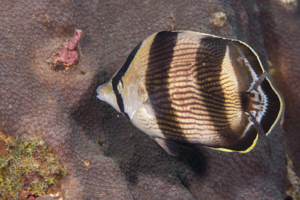 Banded butterflyfish taking a bite out of the coral by...
