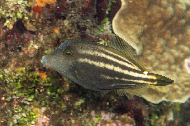 A little orangespotted filefish