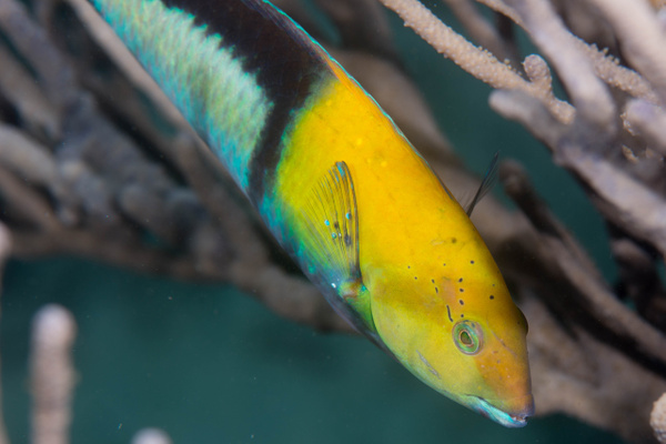 Yellowhead wrasse by Willis Chung