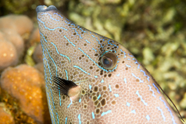 Scrawled filefish face by Willis Chung