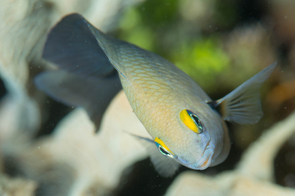 Another damselfish face by Willis Chung