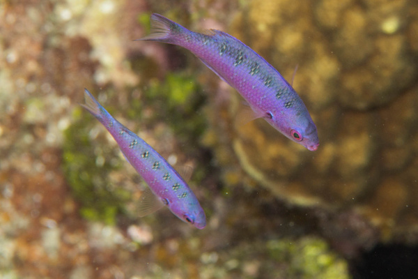 Young creole wrasse by Willis Chung