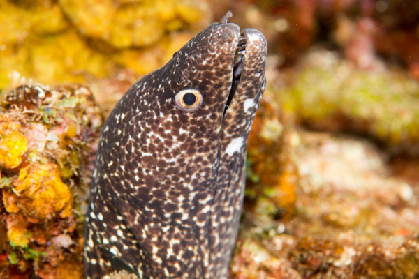 Spotted moray eel by Willis Chung