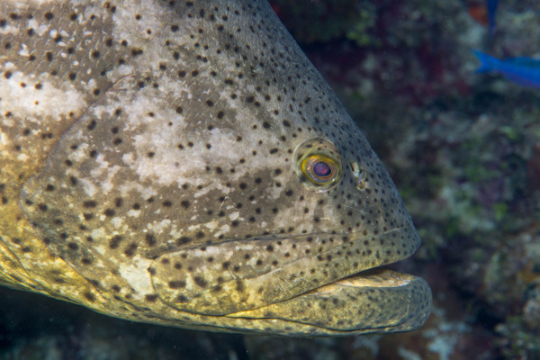 Here is the goliath grouper in profile by Willis Chung