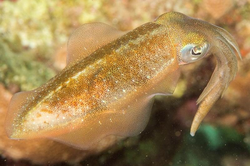 Caribbean reef squid.