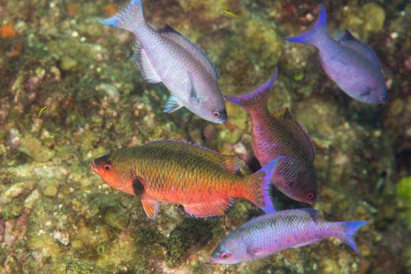 Bright red creole wrasse? by Willis Chung