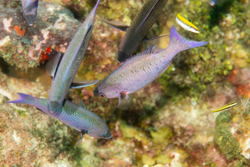 Creole wrasse standing on their heads, waiting to get a cleaning