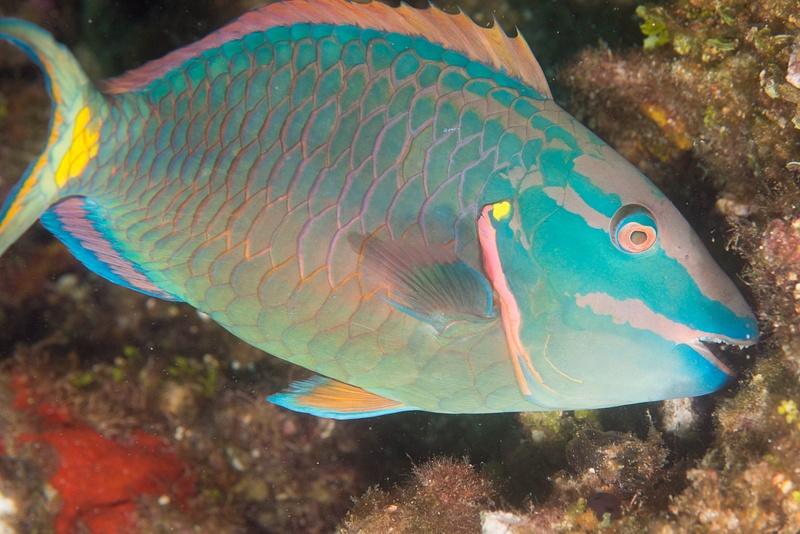 Stoplight parrotfish getting some breakfast