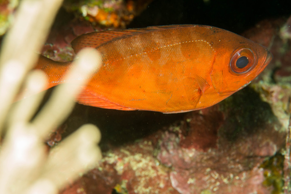 A squirrelfish of some sort, maybe a soldierfish by...