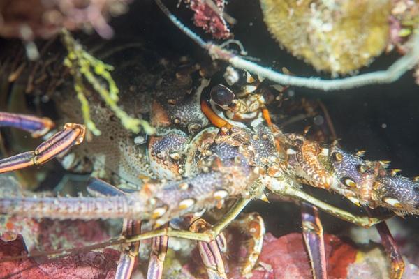 More lobster mug shots by Willis Chung