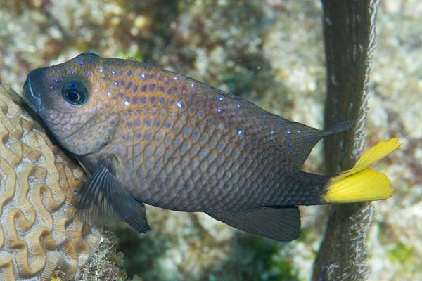 Yellowtail damselfish hugging the brain coral by Willis...