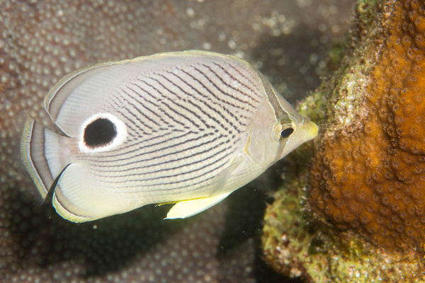 Fourspot butterflyfish nibbling on the reef by Willis...