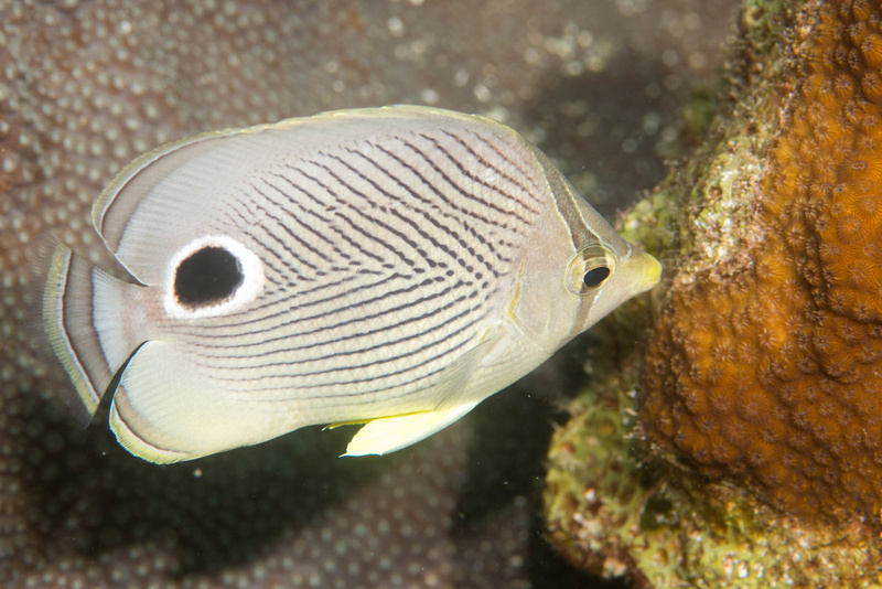 Fourspot butterflyfish nibbling on the reef