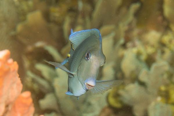 Ocean surgeonfish smile by Willis Chung