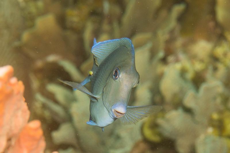 Ocean surgeonfish smile