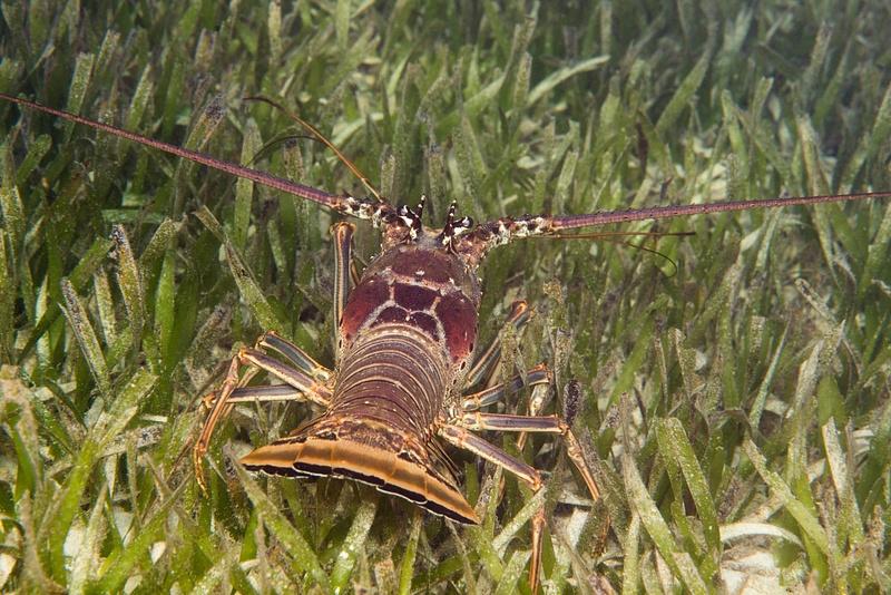 Lobster stern view