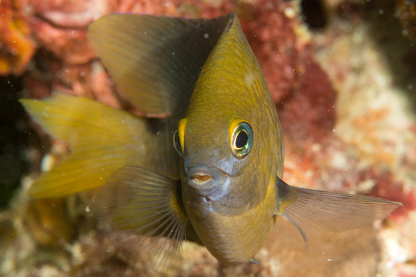 Ok, another damselfish face by Willis Chung