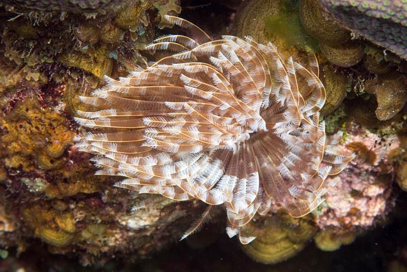 Brown fanworm
