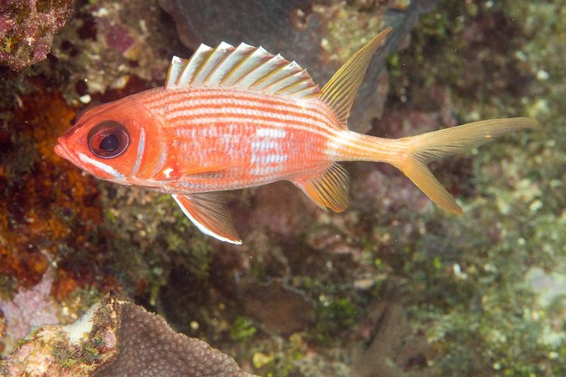 A longspine squirrelfish