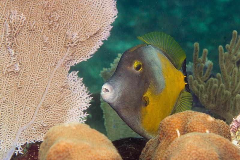 Whitespotted filefish face