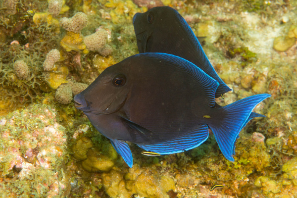 Blue tang waiting to get cleaned by Willis Chung