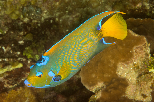 Queen angelfish by Willis Chung