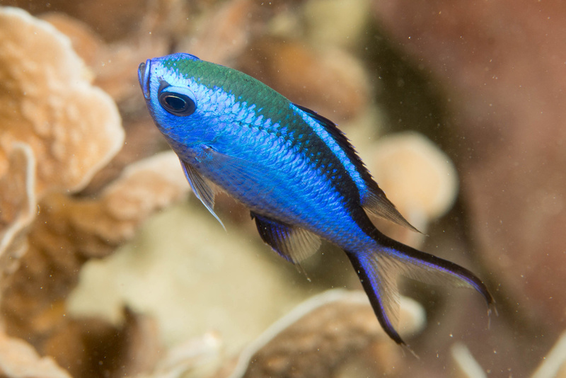 Standard blue chromis photo