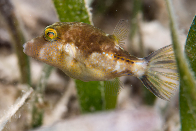 Sharpnose puffer in the grass, with coloration to match