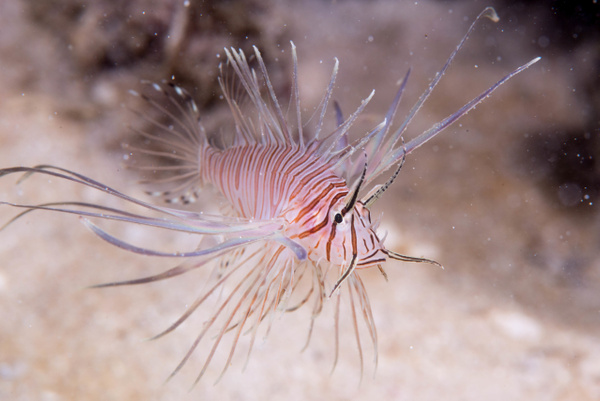 Juvenile lionfish, about 3 inches long by Willis Chung