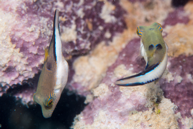 A sharpnose puffer couple in usual angles