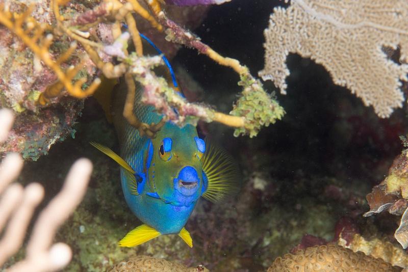 Shy Queen angelfish