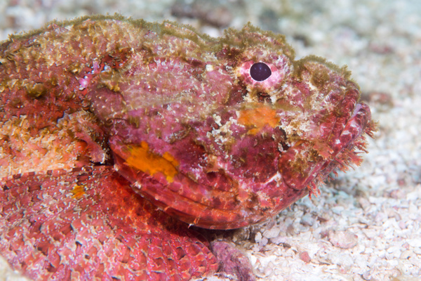Spotted scorpionfish crawling along the sand by Willis...