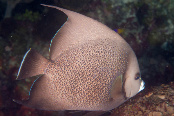 A grey angelfish.  Couldn't get into position for a face...