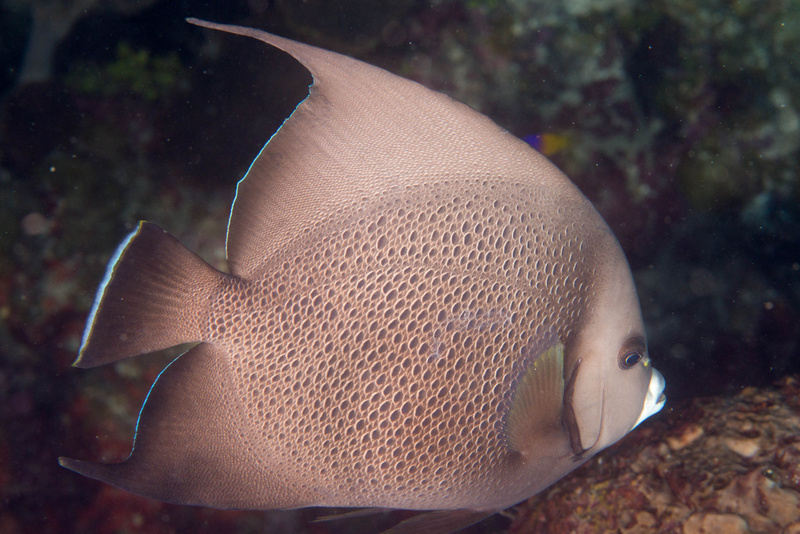 A grey angelfish.  Couldn't get into position for a face on shot