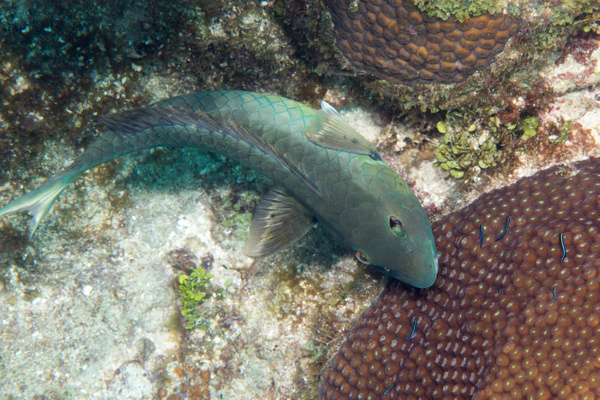 Stoplight parrotfish coming in to get cleaned by gobies...