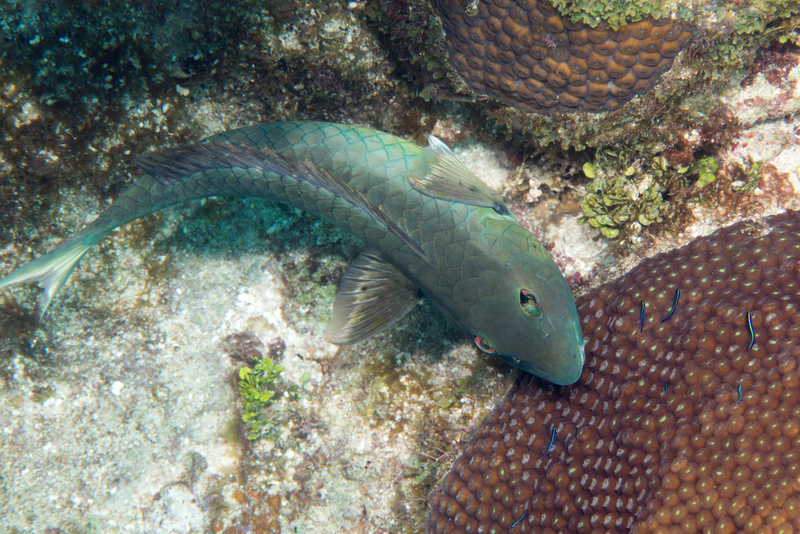 Stoplight parrotfish coming in to get cleaned by gobies