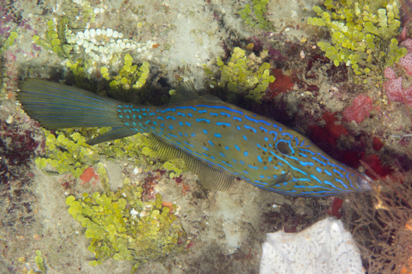 Scrawled filefish by Willis Chung