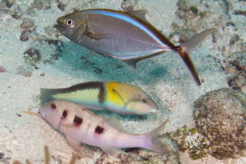 Odd combination of fish working together: bar jack, yellowhead wrasse, and spotted goatfish
