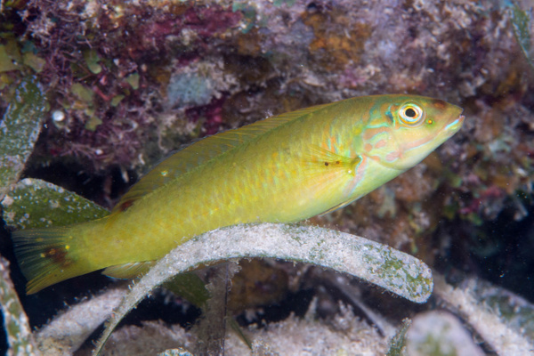 Blackear wrasse without much of a black ear! by Willis...