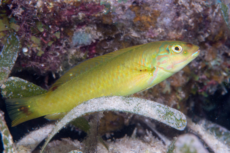 Blackear wrasse without much of a black ear!