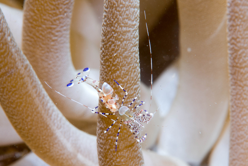 Female spotted cleaner shrimp on a giant anemone.