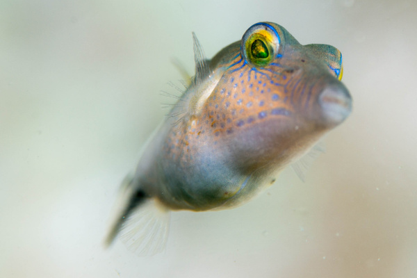 Sharpnose puffer looking down at me.  An usual...