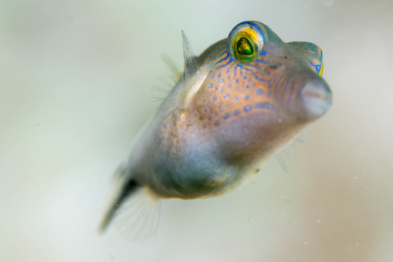Sharpnose puffer looking down at me.  An usual perspective since they usually stay pretty low.