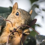2015July Squirrel breakfasting on maple seeds