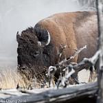 Day 3 PM 2 Bison Bull, Tangled Creek